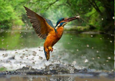 Watling_Dowsett_Kingfisher